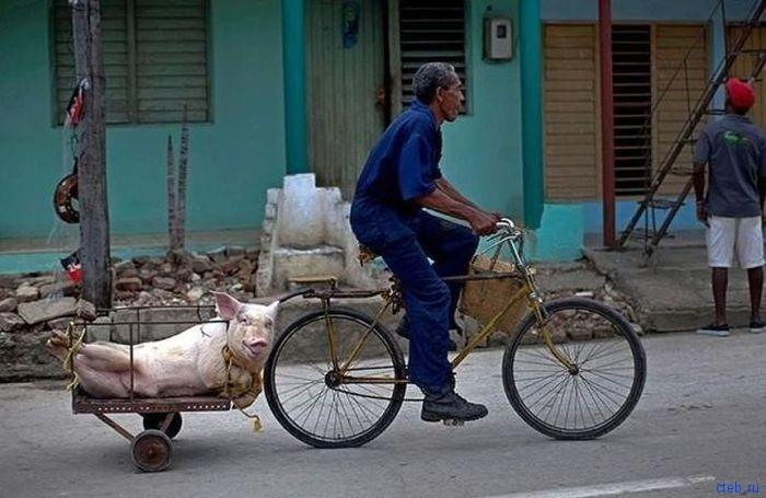 Свинью на сало